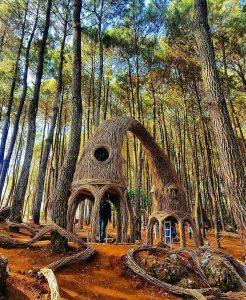 Pinus-Penger-3