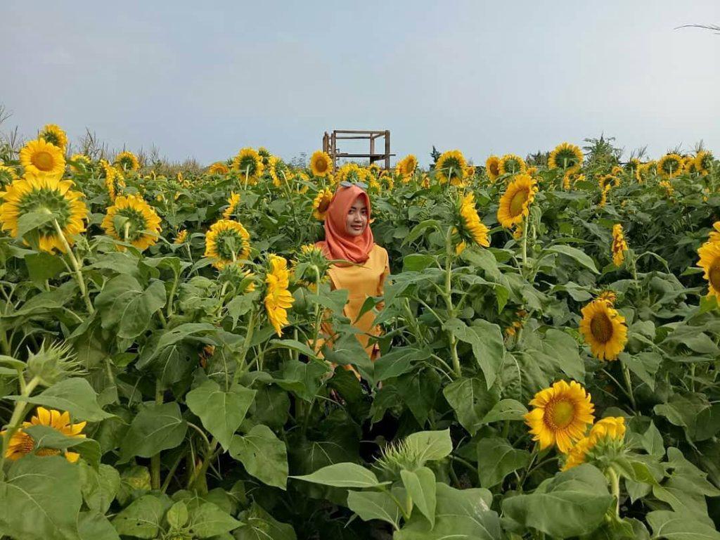 Taman Bunga Matahari (4)